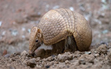 armadillo, leprosy, john spencer