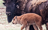 reproduction, bison