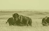 Bison at Soapstone - Campaign at CSU