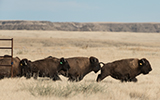 Bison at soapstone release