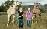 Camels shed MERS virus