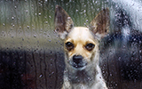 Sad dog in rain, pet anxiety