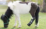 shine, miniature horse, ortho pets