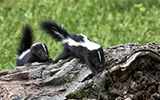 skunk, rabies, pet health