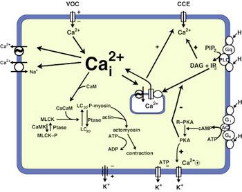Calcium Control Mechanisms