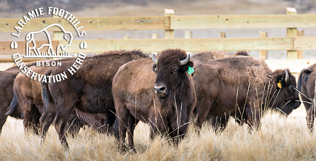 Bison at Soapstone