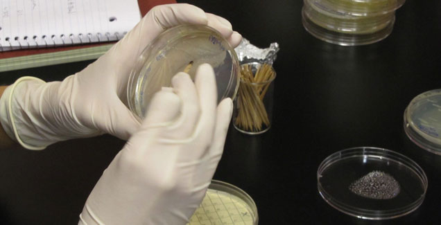 Closeup of gloved hands patching bacteria colonies on a petri dish