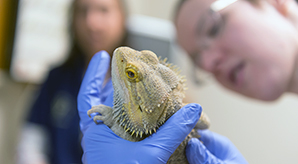 Iguana in the avian, exotics, zoological medicine