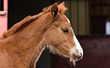 chestnut foal at ERL