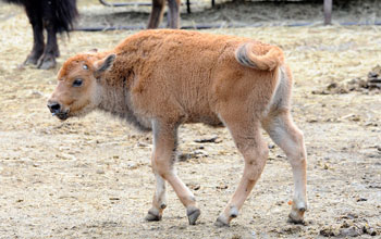 Purebred bison calf at the Bronx Zoo.
