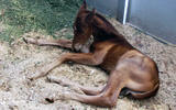 foal at the Colorado State University ORC