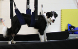A dog using the Lite Gait in the Small Animal Sports Medicine group