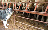 cattle, dogs, neospora