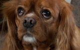 Churchill Cavalier Spaniel Dog cardiology