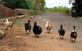ducks walking