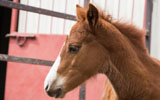 Foal at ERL on CSU Foothills Campus