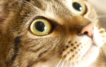 Chronic kidney disease affects up to 35 percent of cats