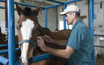 Dr Patrick McCue giving a horse an injection