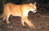 sue vandewoude, puma, mountain lion