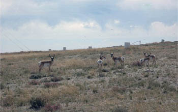 Antelope gather at an ISL mine site